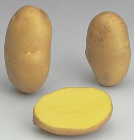 la pomme de terre Agria