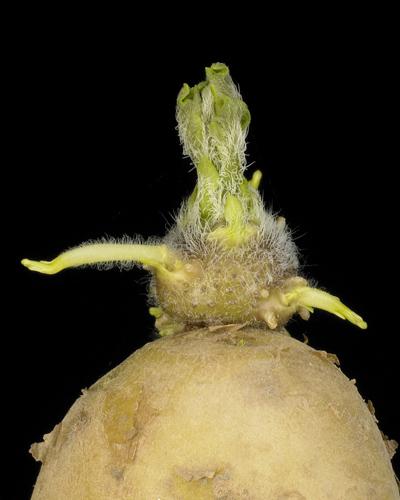 la pomme de terre Challenger